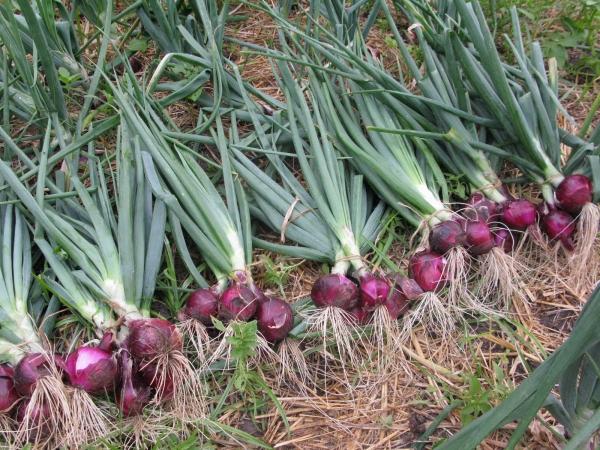 planter des oignons liasses d'oignons