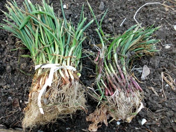 planter des oignons lots de greffes