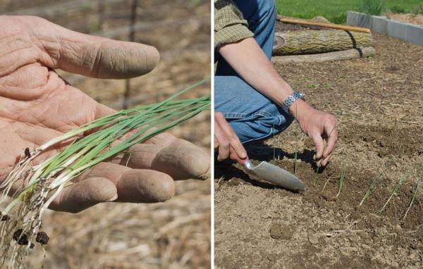 planter des oignons par graines