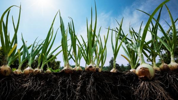 planter des oignons pas très profondément