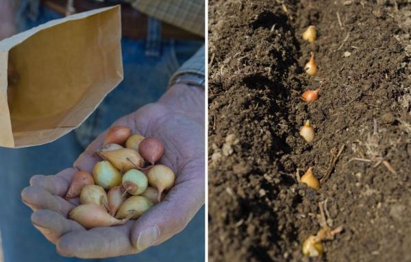 planter des oignons petites bulbes