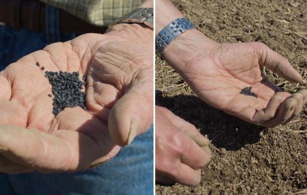 planter des oignons semer par greffes