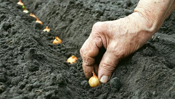 planter des oignons tout entiers