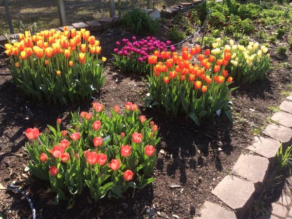 planter des tulipes îlots en couleurs