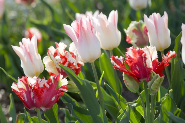 planter des tulipes de type perroquet