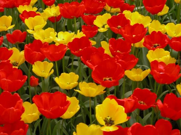 planter des tulipes en couleurs variées