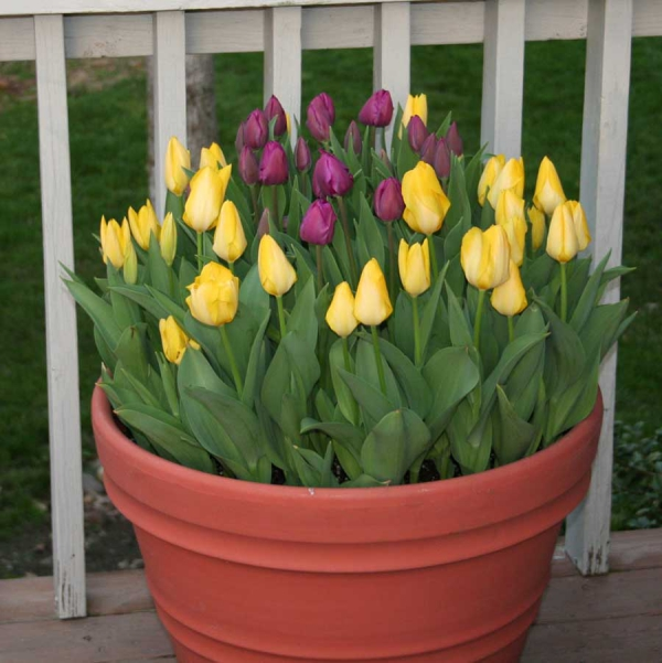 planter des tulipes en grand pot