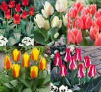 planter des tulipes 7 conseils pour un tapis multicolore. Black Bedroom Furniture Sets. Home Design Ideas