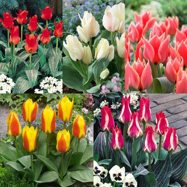 planter des tulipes espèces-nains