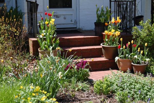 planter des tulipes fleurs en pots