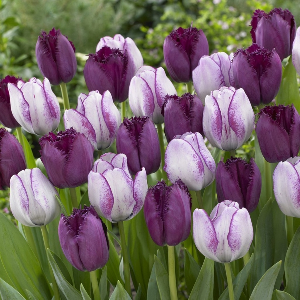 planter des tulipes hybrides modernes