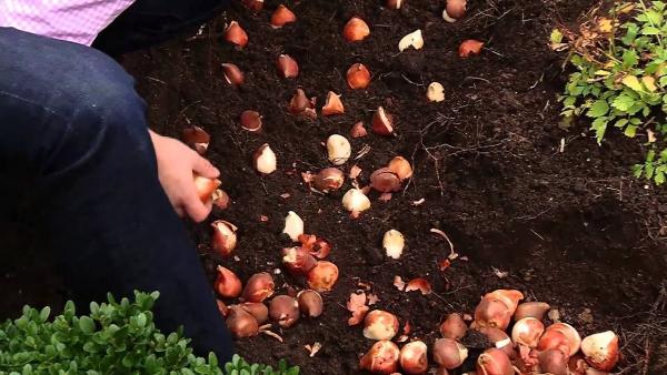 planter des tulipes vérifier les bulbes