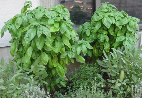 planter du basilic comme arbuste