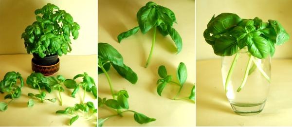 planter du basilic des sommets coupés
