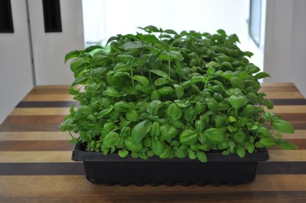 planter du basilic en grande quantité