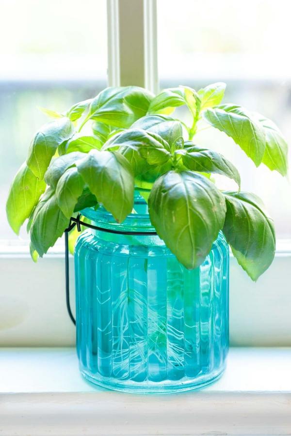 planter du basilic mis dans un bocal