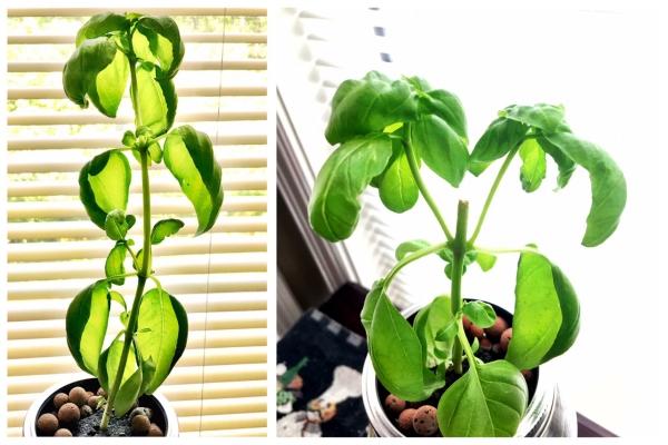 planter du basilic près de la fenêtre