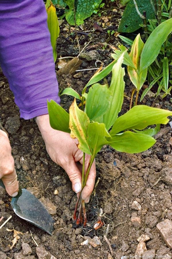 planter du muguet jeunes pousses