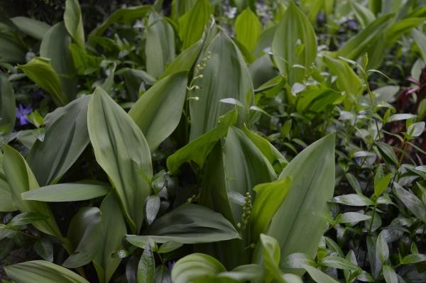 planter du muguet parmi d'autres plantes