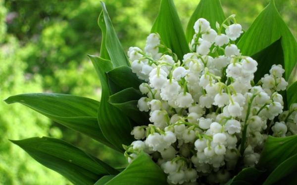 planter du muguet un bouquet de jeune mariée