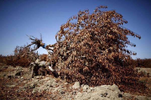 planter un amandier arbre déraciné