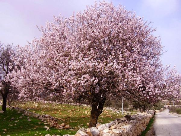 planter un amandier arbre en fleurs