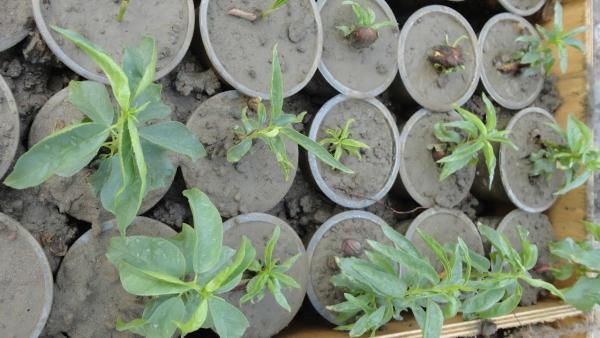 planter un amandier beaucoup de pots