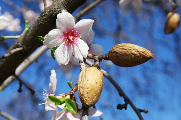 planter un amandier fleurs et fruits