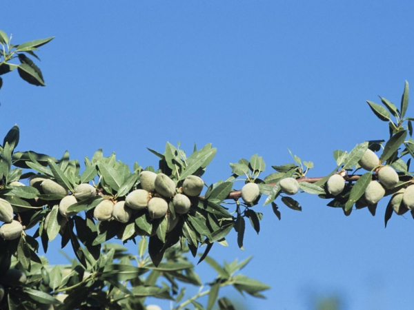 planter un amandier fruits mûris