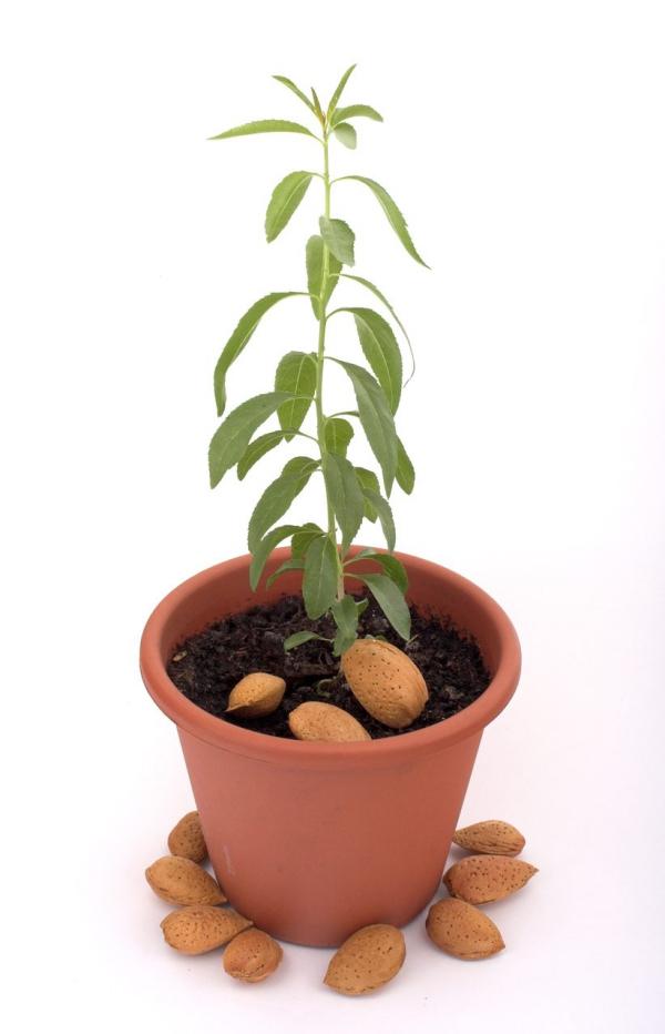 planter un amandier planté à partir d'un fruit