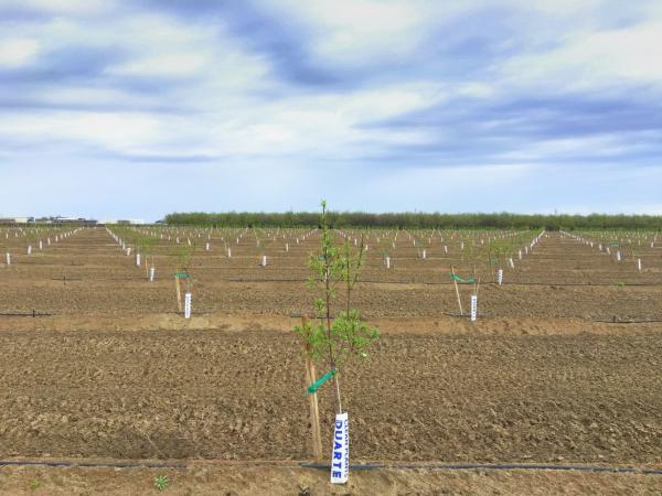 planter un amandier plantation d'amandiers