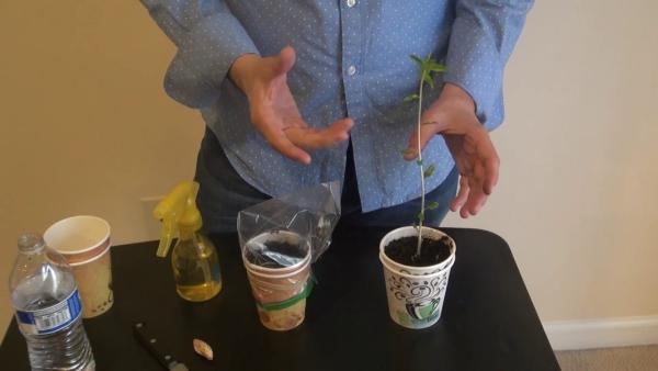 planter un amandier planter dans un gobelet