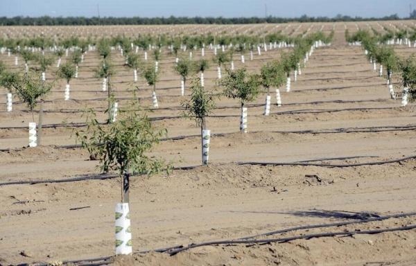 planter un amandier un sol sableux