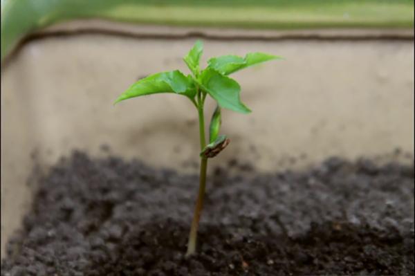 planter un cerisier à partir d'un noyau