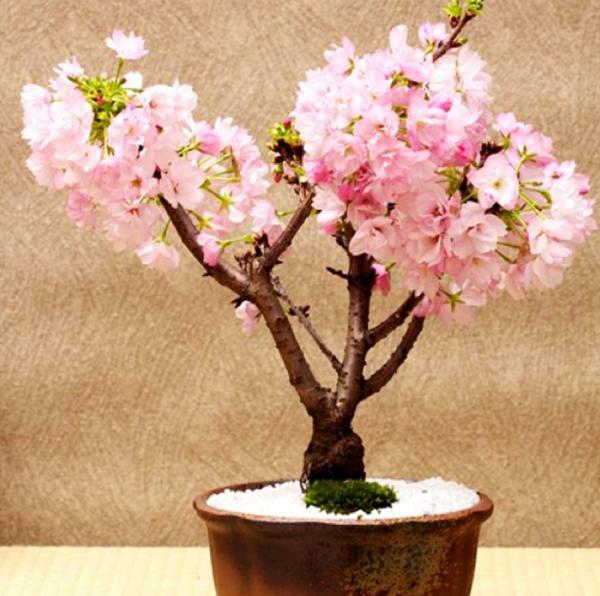 planter un cerisier arbre bonzaï