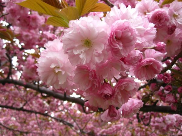planter un cerisier comme de petites roses