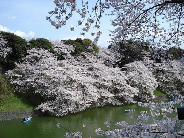 planter un cerisier en floraison