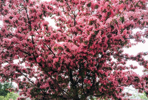 planter un cerisier fleurs roses