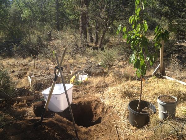 planter un cerisier prêt à transplanter