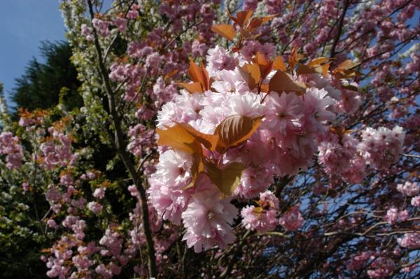 planter un cerisier type noir et sauvage
