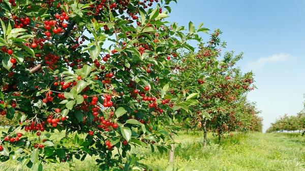 planter un cerisier une ceriseraie