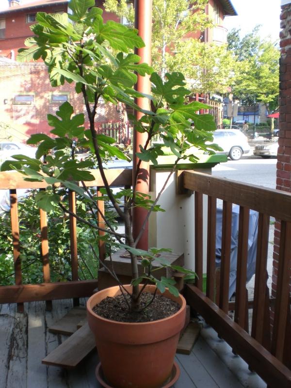 planter un figuier arbre sur la terrasse