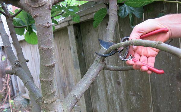 planter un figuier couper une bouture