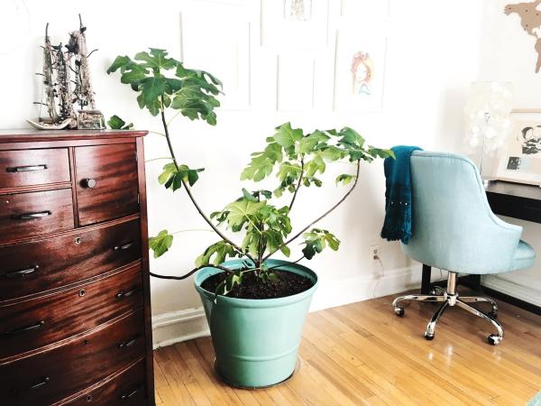 planter un figuier dans le bureau