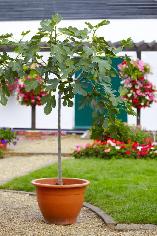 planter un figuier dans le jardin