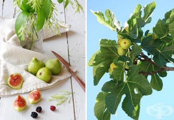 planter un figuier des fruits savoureux