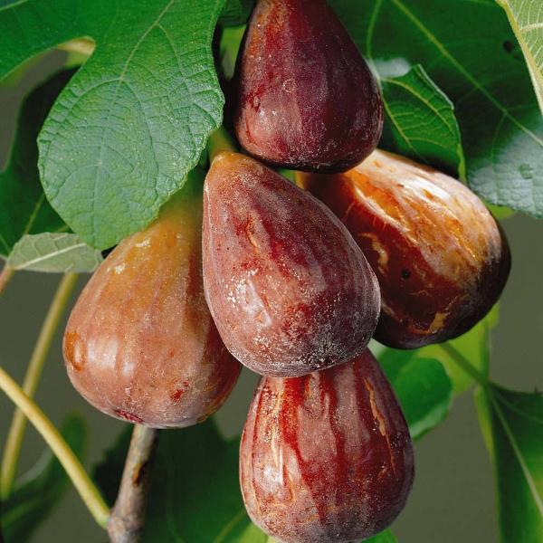 planter un figuier en forme de poire
