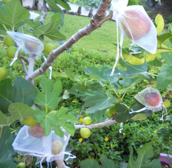 planter un figuier fruits enveloppés