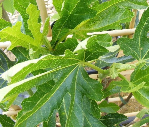 planter un figuier plante en pot