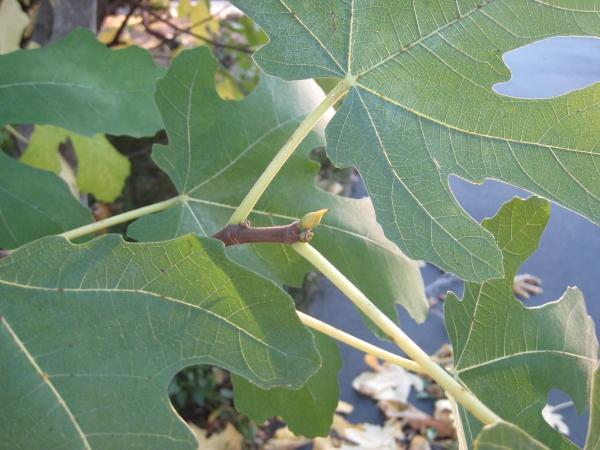 planter un figuier premiers bourgeons
